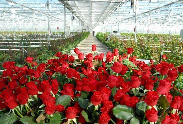 Вирощування троянд в теплицях цілий рік
