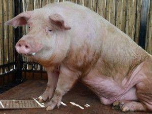 Вирощування свиней в домашніх умовах як бізнес