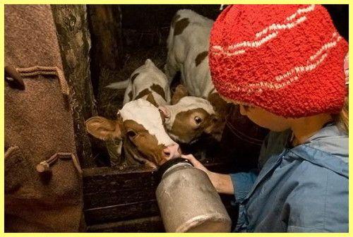 Вирощування телят у домашніх умовах