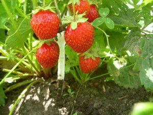 Вирощування суниці з насіння в домашніх умовах