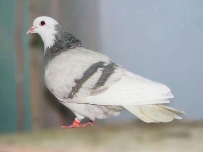 Птах Пермської породи