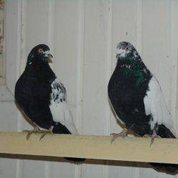 Свердловські птиці