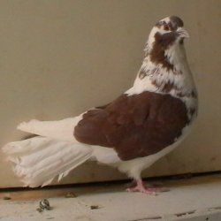 Миколаївська птах