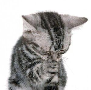 Виведення вовни у кішки