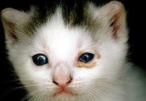 Захворювання порожнини носа і слізних проток у кішок.