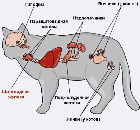 Захворювання щитовидної залози у кішок.