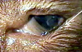 Захворювання повік у кішок.