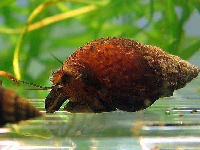 Зачаровують мешканці акваріумів - равлики