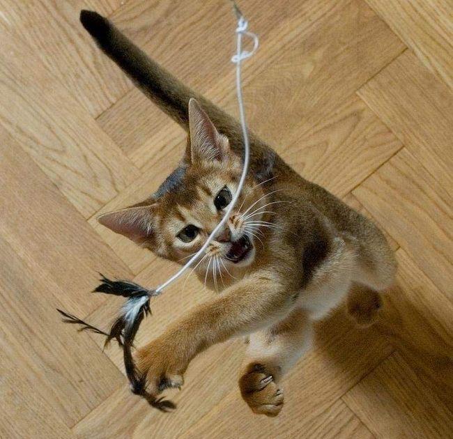 Ігри з кішкою.