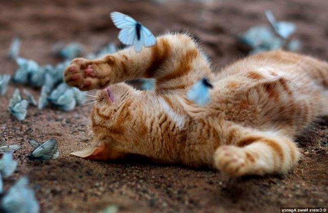 Кот грає з метеликами.