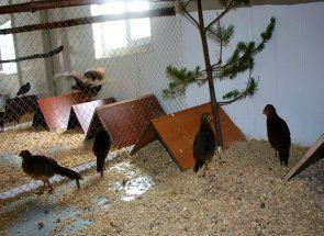 Заробляючи на фазанів: як розвести їх в домашніх умовах