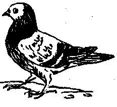 Фото 1 Зарубіжні породи голубів (голуби)
