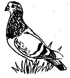 Фото 2 Зарубіжні породи голубів (голуби)