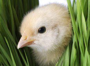 Зелень в раціоні маленьких курчат: на замітку птахівникам