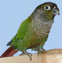 Зеленощёкій краснохвостий попугайpyrrhura molinae