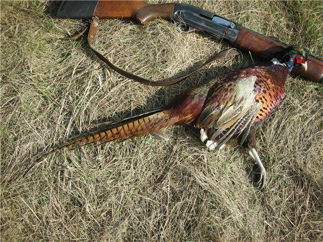 Бажана дичину для мисливців усього світу - кавказький фазан