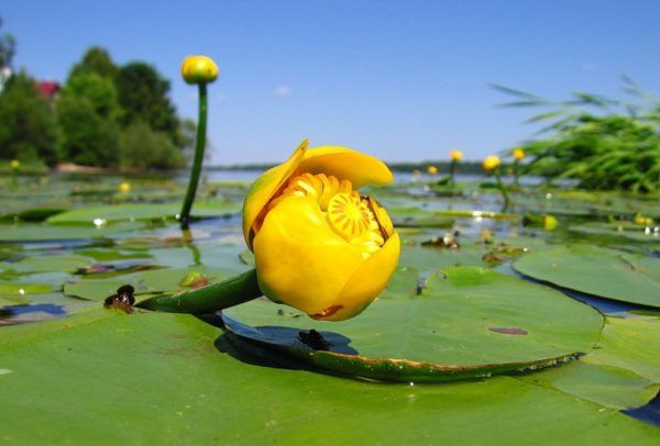 Жовта латаття - шматочок літа в акваріумі