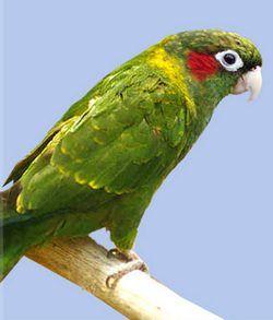 Желтокрилий краснохвостий попугайpyrrhura hoffmanni