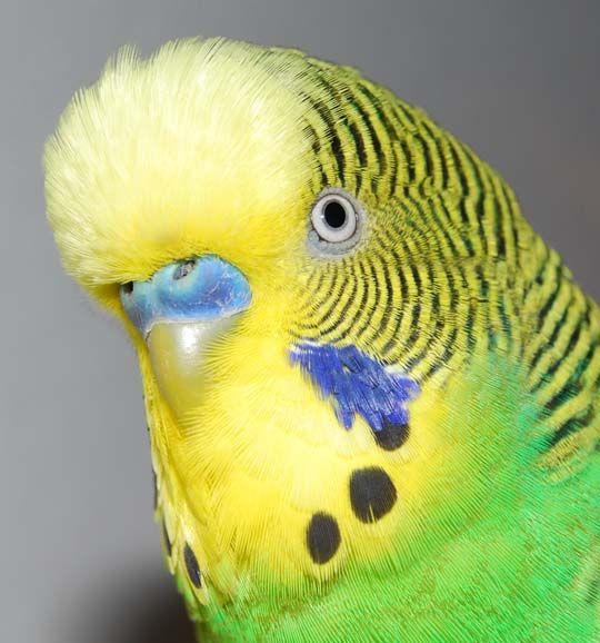 Жовтолиці папужки