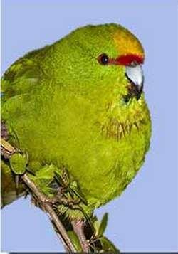 Желтолобий стрибучий попугайчікcyanoramphus auriceps