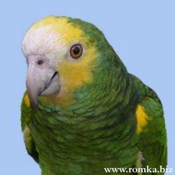 Желтоплечій або желтокрилий амазон (amazona barbadensis)