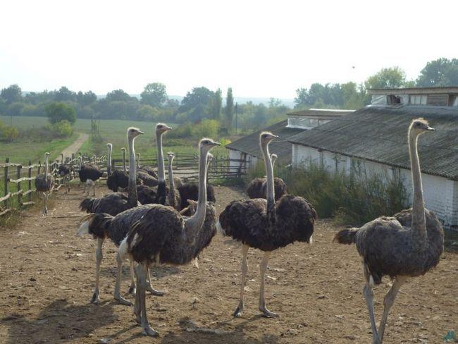 Жир страуса: що це таке і де його застосовують?