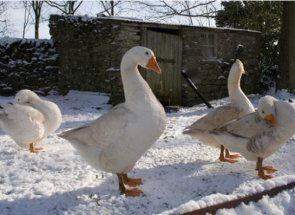 Зима без клопоту - як перетримати гусей в холодну пору року