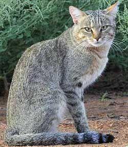 Значення племінного розведення породистих кішок.
