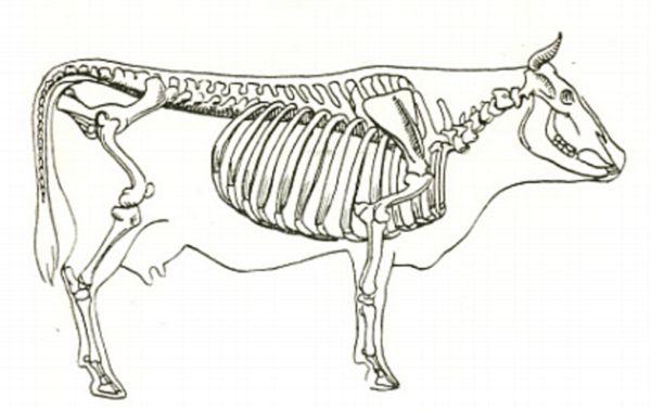 Знайомимося з анатомією корови