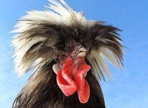 Знайомимося з м`ясо-яєчної породою курей неординарної зовнішності - голландська белохохлая