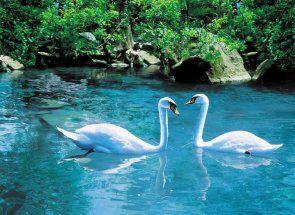 Знайомимося з прекрасною птахом - лебедем