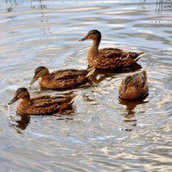 Звичайна крижень з пташенятами на воді