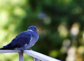 Знайомимося з сизим голубами