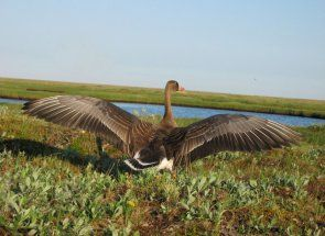 Знайомимося з видами диких гусей