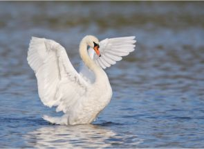 Знайомимося з видами диких лебедів