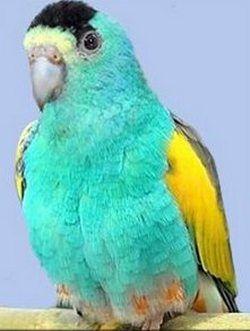 Золотістоплечій, желтокрилий або квінслендський попугайpsephotus chrisopterygius