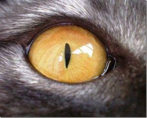 Зір кішки