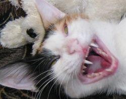 Зуби у кішки: догляд та профілактика захворювань