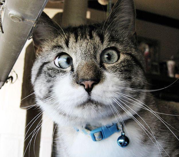 Косоокий кіт